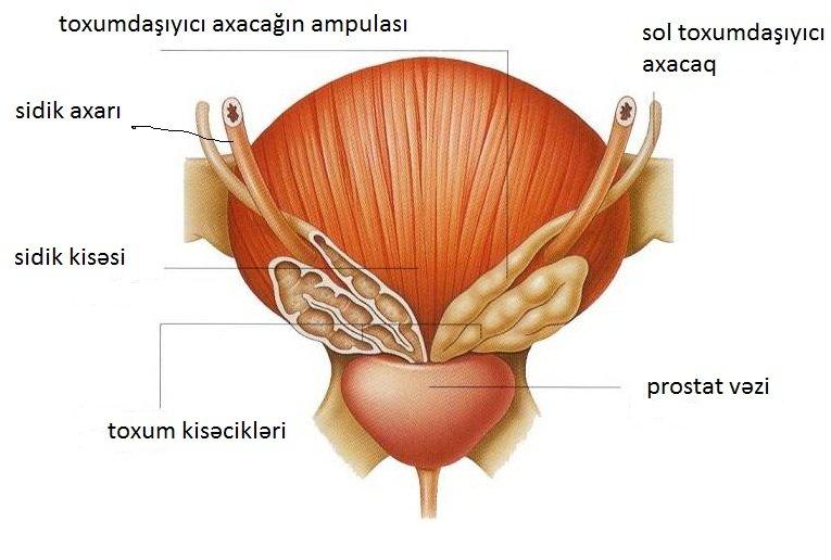 Prostat vəzi, prostat haqqında, prostat vezi müalicə, prostat vəzi nədir